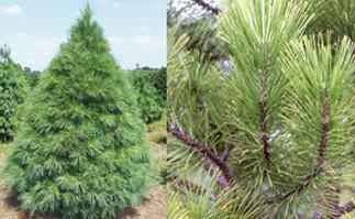 austrian-pine - Wilbert's Christmas Tree Farm