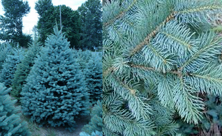 colorado blue spruce found throughout the central rockies this spruce borrows its name from the centennial state it has stout 3 sided needles about