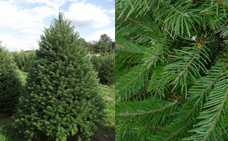 douglas fir found in the central rockies this hardy blue strain is widely used as a christmas tree in the northeast it has lush blue green foliage